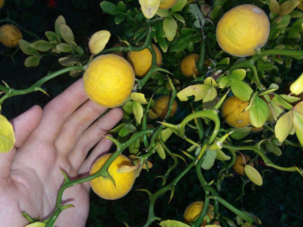 owoce trifoliaty
