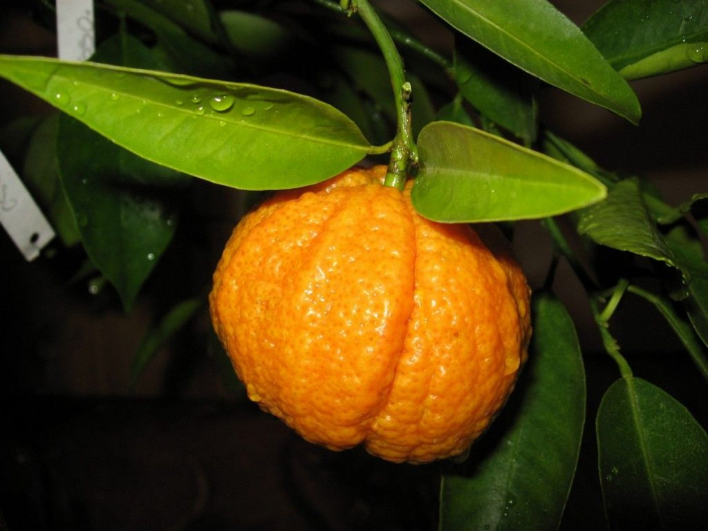 mandarynka Rubino Rosso owoc