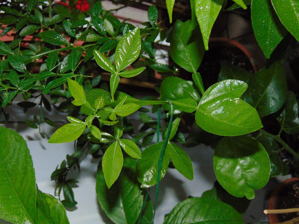 liście cytrusa Trifeola