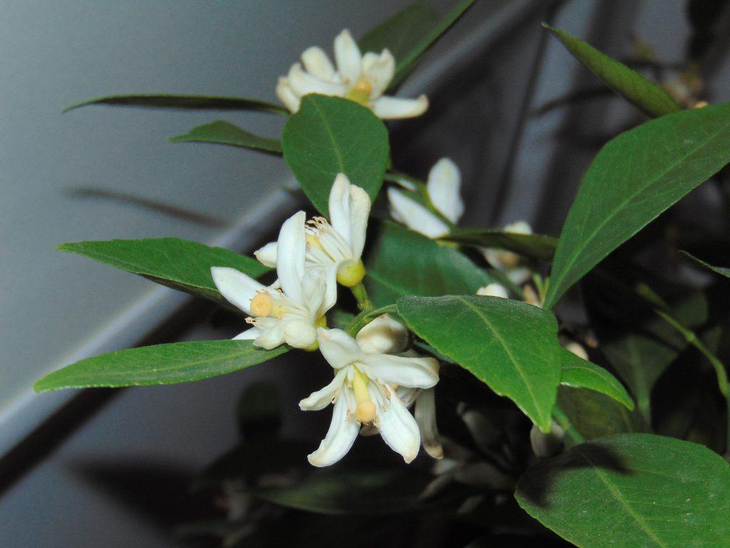 kwiaty mandarynki Karlik