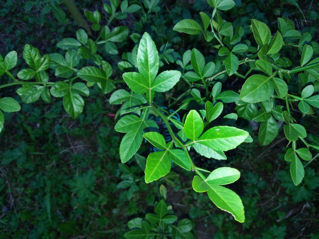 liście pomarańczy trójlistkowej