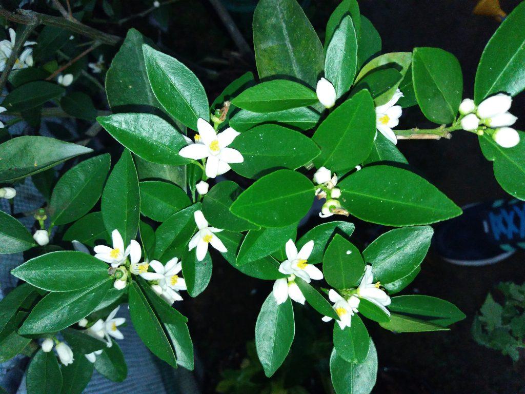 kwiaty cytrusa