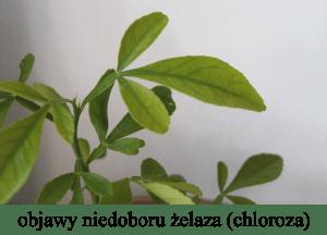 chloroza cytrus