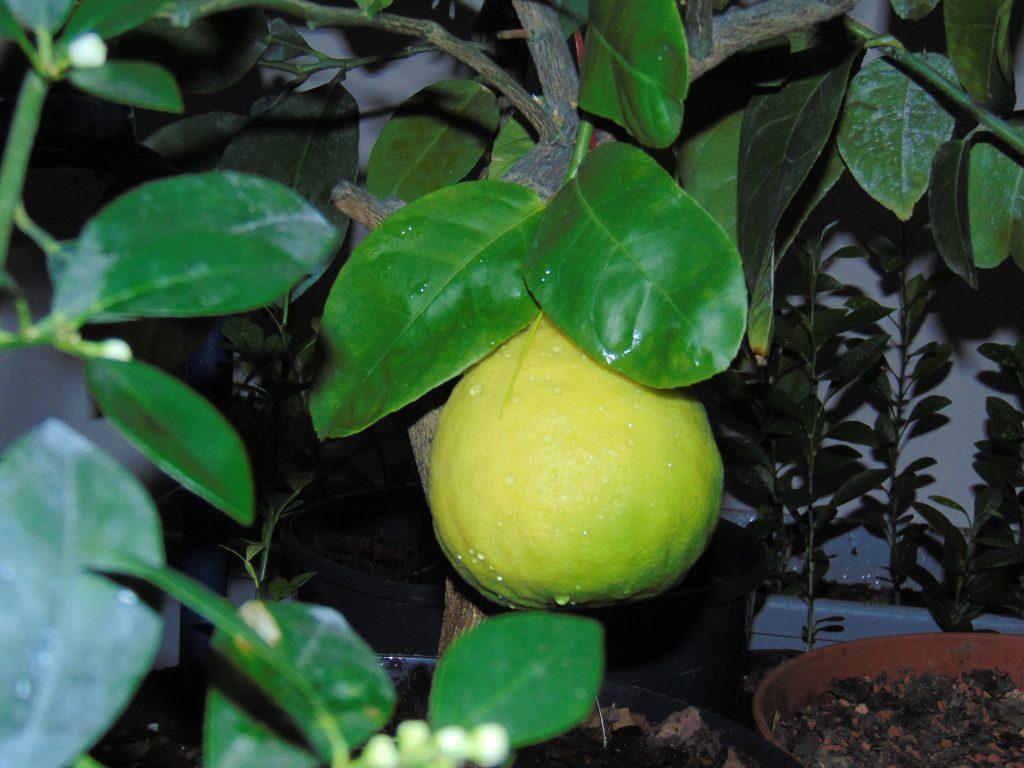 Owoc cytryny skierniewickiej
