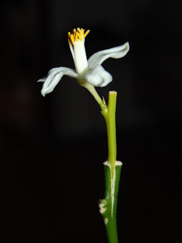 Szczepienie cytrusów może przyspieszyć kwitnienie.