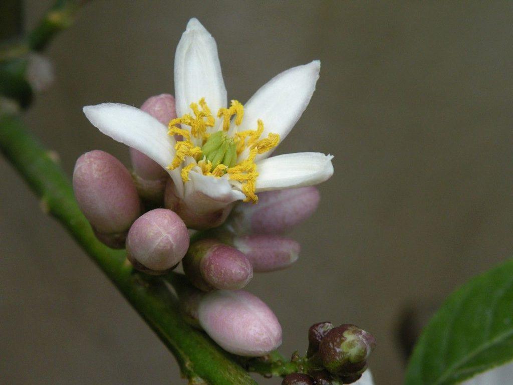 kwiaty cytronu