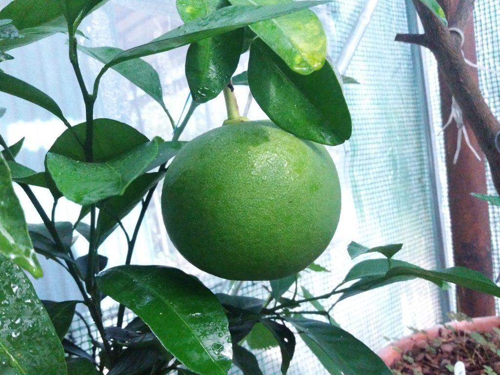 Rosnący owoc pompeli