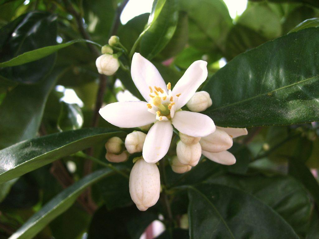 Kwiaty cytrusów przeważnie są samopylne.