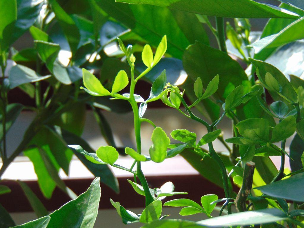 Rośliny cytrusowe (pomarańcza trójlistkowa iinne cytrusy).