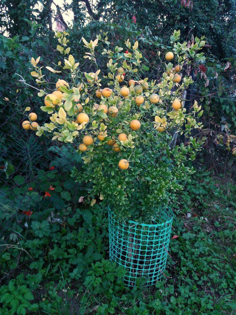 Poncirus trifoliata wgruncie
