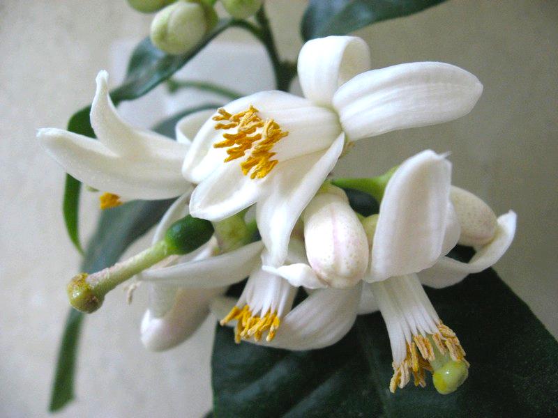 kwiaty-cytryna-skierniewicka