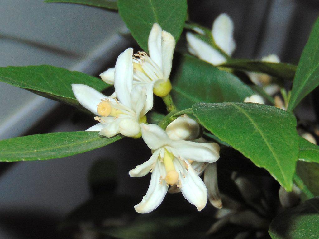 kwiaty mandarynki Karlik nie mają pyłku