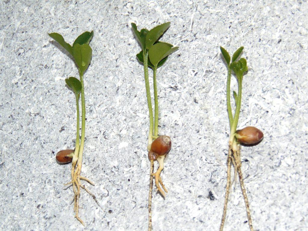 Nasiona wielozarodkowe. Czyto, co wyrośnie zpestki, będzie klonem?