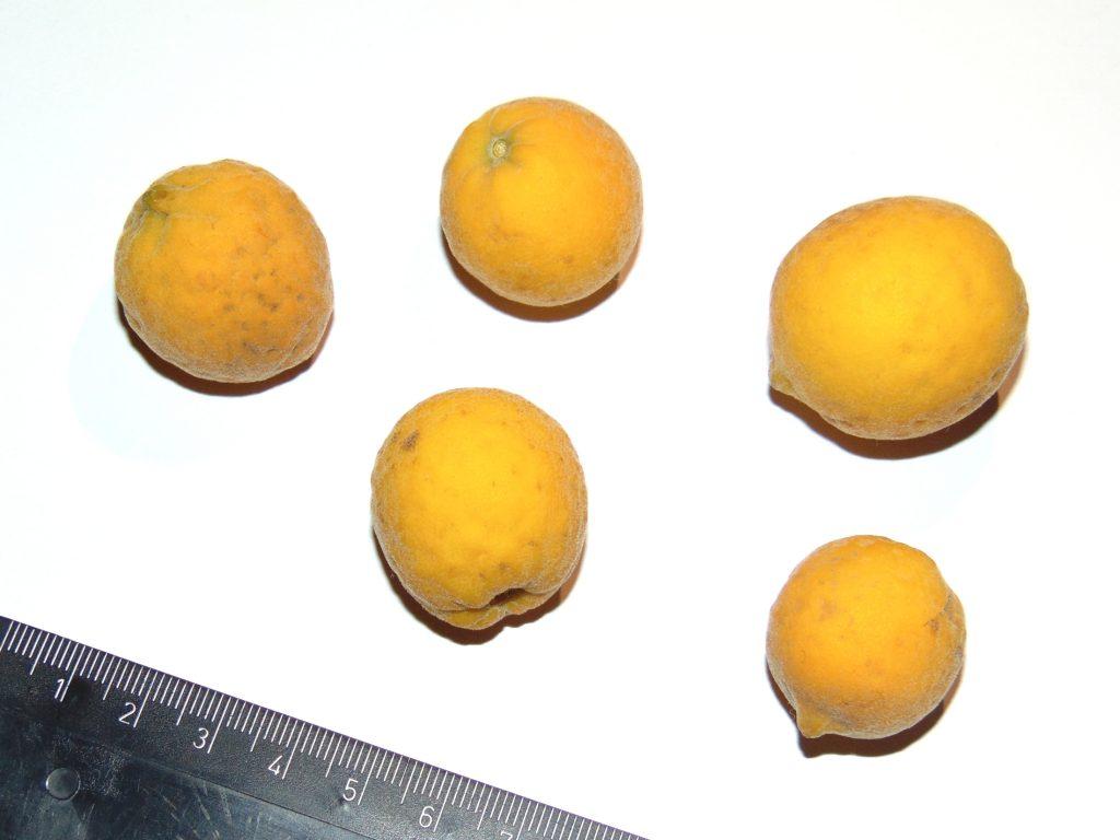 Owoce hybrydy Poncirus trifoliata- prawdopodobnie citrandarin.