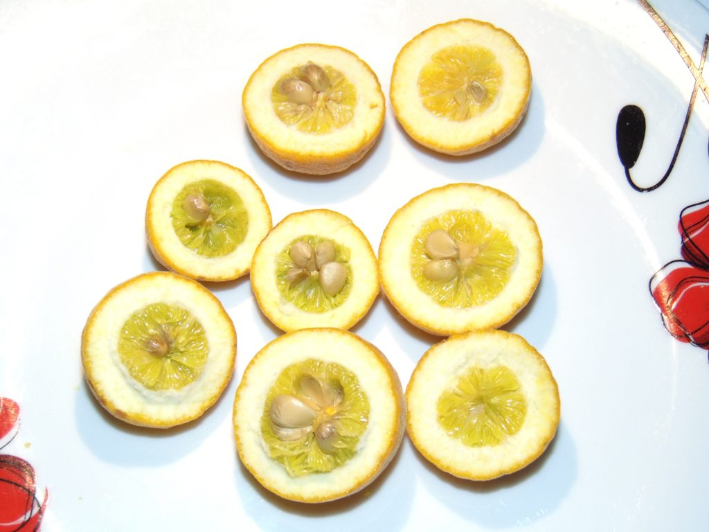 Owoce hybrydy poncirus trifoliaty.