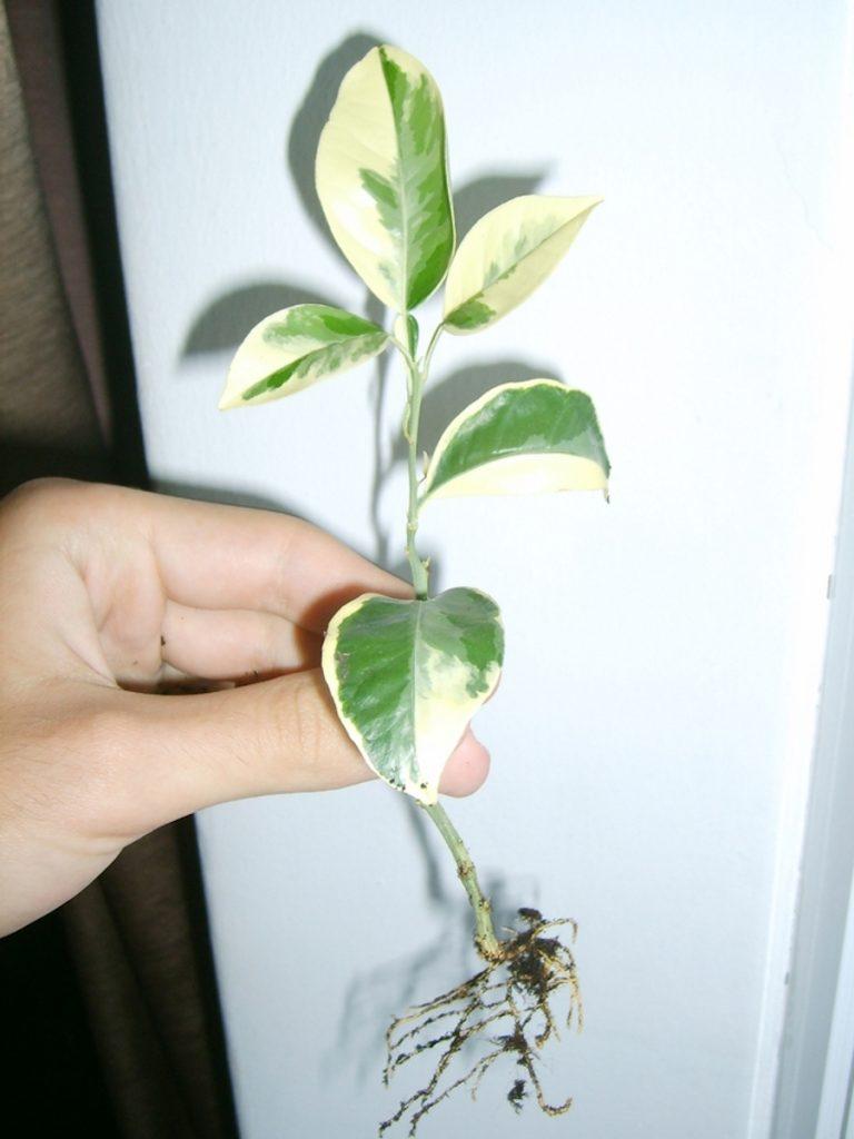 Ukorzeniona sadzonka cytrusa.