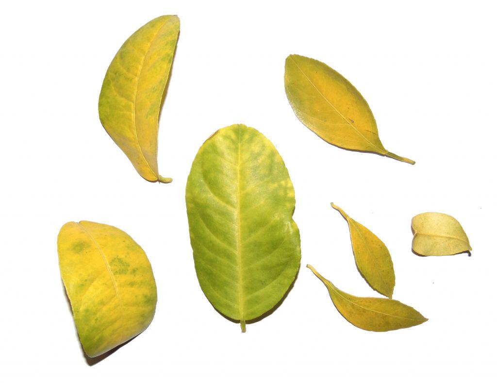 żółte liście cytrusów