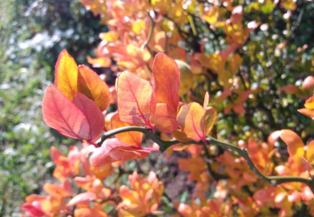 trifoliata-liscie-jesienia