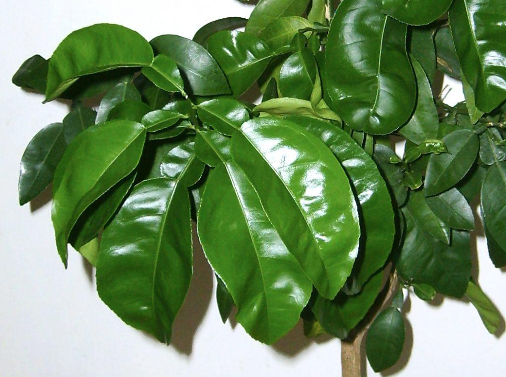 liście grejpfruta lubhybrydy grejpfruta ipomelo