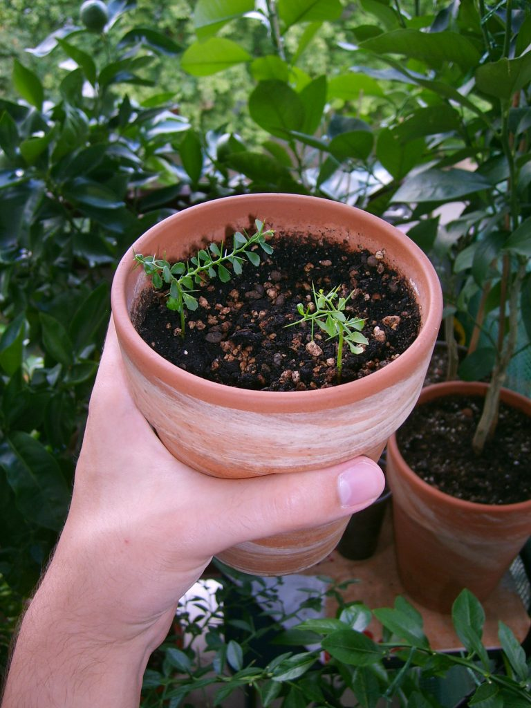 Cytrusy australijskie rosną raczej wolno. Siewki finger limy.