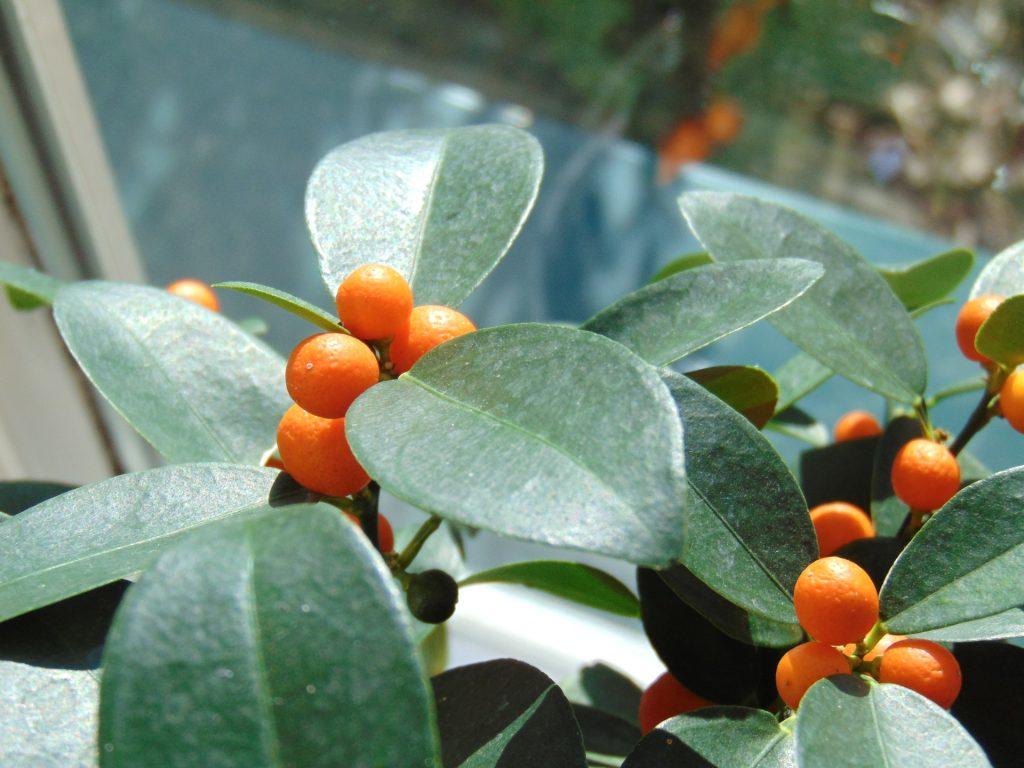 Rośliny cytrusowe wdomu wyglądają bardzo dekoracyjnie.