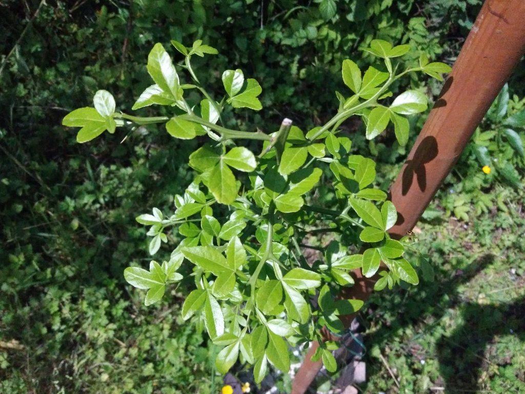 Poncirus trifoliata wiosną