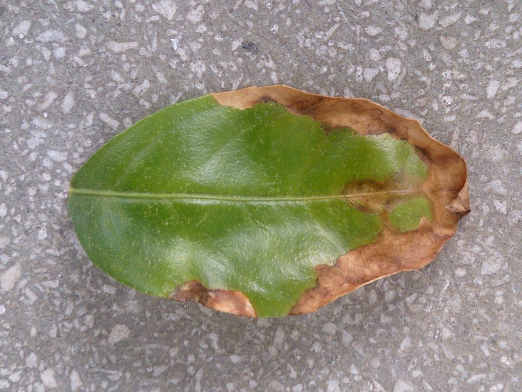 Uszkodzone liście opadają.