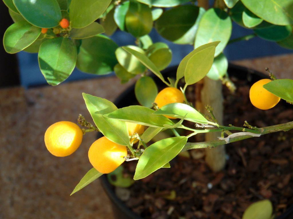 owoce Reale nagałązce