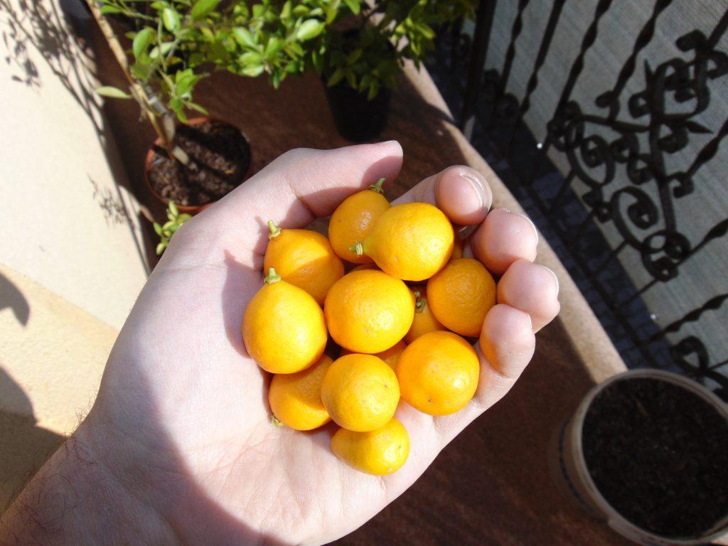 zebrane owoce mandarynkwata Reale