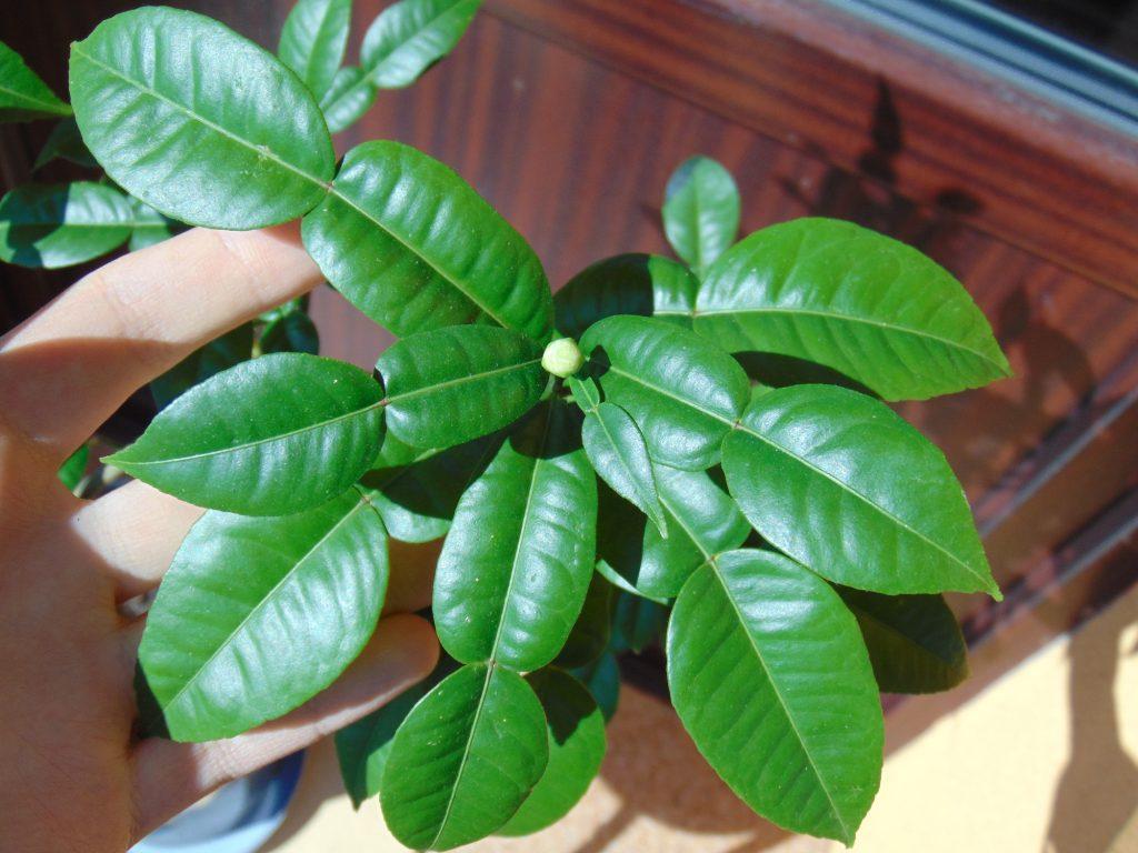 Citrus ichangensis IVIA