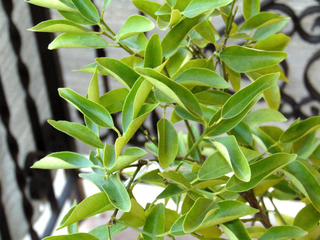 Tej roślinie brakuje wody. Liście zwijają się.
